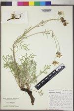 Hymenopappus newberryi image
