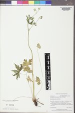 Geranium richardsonii image