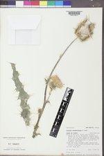 Cirsium neomexicanum image