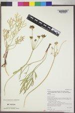 Lomatium triternatum var. anomalum image