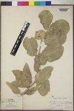 Asclepias arenaria image