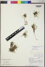 Sabulina macrantha image