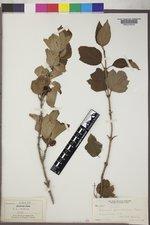 Viburnum edule image