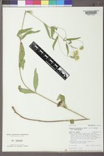 Heliomeris multiflora var. multiflora image