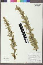 Berberis fendleri image