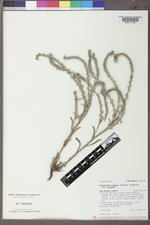 Cryptantha cinerea image
