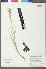 Zigadenus venenosus image