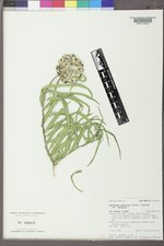 Asclepias asperula var. asperula image