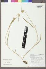 Commelina dianthifolia image