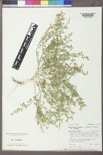 Chenopodium incanum var. incanum image