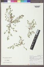 Euphorbia serpillifolia var. serpillifolia image