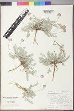 Astragalus gilensis image
