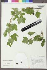 Ribes wolfii image