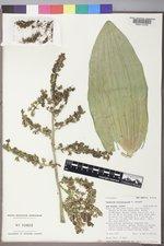 Veratrum californicum image