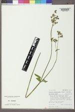 Mirabilis melanotricha image