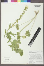 Sidalcea candida image