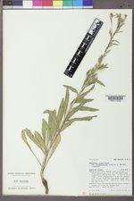 Oenothera elata image