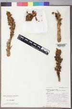 Conopholis alpina image