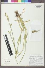 Silene scouleri subsp. pringlei image
