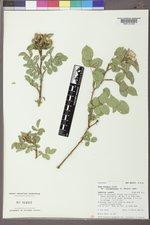 Rosa woodsii var. ultramontana image