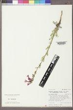 Ipomopsis aggregata subsp. formosissima image