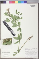 Thermopsis montana var. montana image