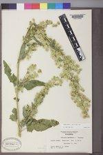 Atriplex hortensis image