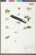 Selaginella densa image