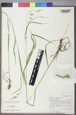 Bromus ciliatus var. richardsonii image