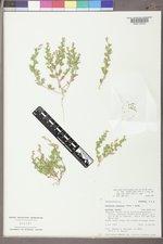 Atriplex suckleyi image