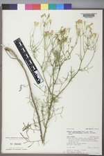 Senecio spartioides image