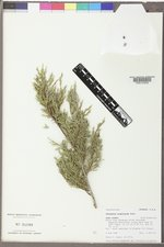 Juniperus scopulorum image