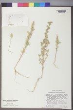 Chenopodium atrovirens image