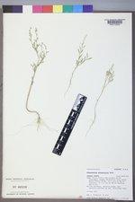 Chenopodium pratericola image