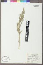 Halogeton glomeratus image