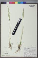Trisetum montanum image