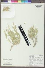Zuckia brandegeei image