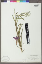 Ipomoea leptophylla image