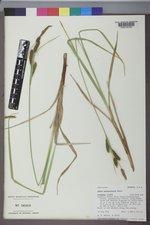 Carex nebrascensis image