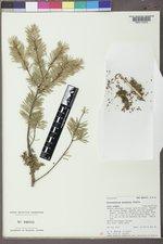 Arceuthobium douglasii image