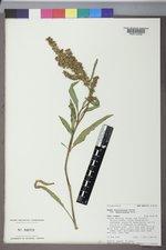 Rumex californicus image