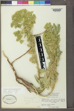 Euphorbia agraria image