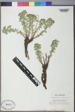 Euphorbia brachycera image