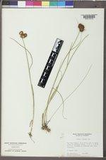 Juncus torreyi image
