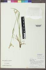 Luzula comosa image