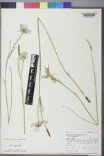 Calochortus gunnisonii image