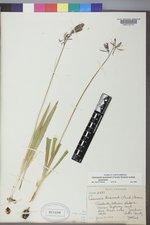 Camassia quamash image