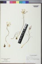 Calochortus nuttallii image