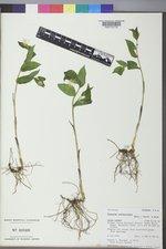 Prosartes trachycarpa image