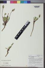 Agoseris aurantiaca var. aurantiaca image